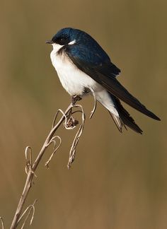 Birds ❀⊱My Bird House⊰❀tree swallow (by sergio bitran) Pretty Birds, Love Birds, Beautiful Birds, Animals Beautiful, Small Birds, Little Birds, Colorful Birds, Kinds Of Birds, Wild Birds