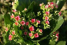 Kalanchoe ou Flor da Fortuna - blog Meu Lar Doce Lar