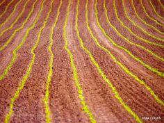 maize field by manojnag  IFTTT 500px