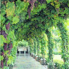 Grapevine arbor & structure