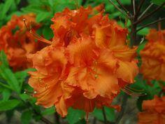 Azaleas & Iris | Ramblin' through Dave's Garden