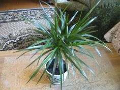Dracaena: how to plant, grow and take care of decorative plants at home. Dracaena planting: how to grow dracaena indoors and why do dracaena leaves die?
