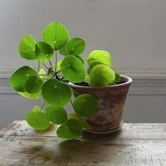 Living Room: Pilea peperomioides aka Chinese Money Plant