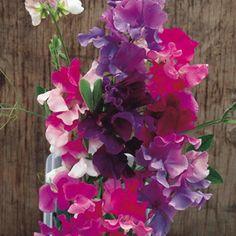 En superb , åter utvalda bicolour blandning , som innehåller större blommor än många andra bicolours , och sött doftande ! HA - Hardy årligen . Höjd 1,8 m ( 6 ') . . [35,00kr]