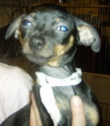 Min Pin puppies is an adoptable Miniature Pinscher Dog in Jeffersonville, IN. These dogs have been vet checked, spayed/neutered, microchipped/tattoo, and is current on all shots. They will require to ...
