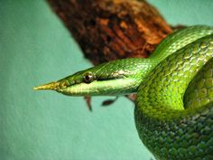 La serpiente unicornio verde La especie de serpìente Rhynchophis boulengeri es conocida vulgarmente por nombres tan sugerentes como la serp...