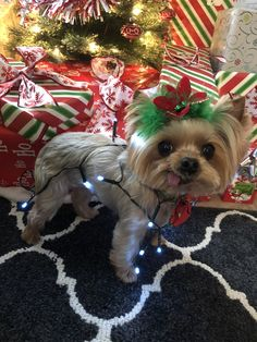 Yorkie, Wrapped in Christmas lights , Zoe  Merry Christmas!