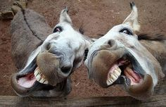 Donkeys, Alma Park Zoo, Brisbane. By Nick Craven just imagine them laughing really loudly