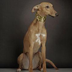 Cachorros: saiba tudo sobre a raça Whippet