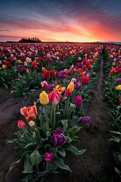 Spring tulips in Woodburn, Oregon