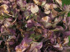 una hortensia desde cerca.. foto tomada por OnA