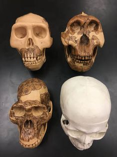 ADI lab comparing hominid skulls for evolutionary biology Biology Lessons, Ap Biology, Science Lessons, Life Science, Science Resources, Science Education, Kids Education, Teaching Resources, High School Biology
