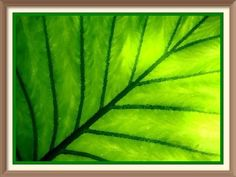What is chlorophyll and why is liquid chlorophyll such a big deal? What are the benefits of drinking chlorophyll? Go Green, Green Eyes, Green Colors, Nature Green, Plant Wallpaper, Leaves Wallpaper, Green Paintings, Interior Photo, Pantone Color