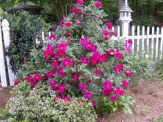 Knock out rose tree