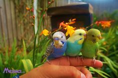 Hand Reared And Super Tame Adorable Baby Budgies For Sale for sale in Lancashire, North West, United Kingdom Rabbit Cages, Baby Budgies For Sale, Love Birds, Beautiful Birds, Budgie Parakeet, Parakeets, Parrots, Animals And Pets, Cute Animals