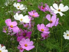 This free flowering annual plant is used for bedding or even in mixed borders in a garden.