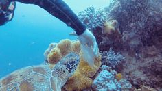 Feeding jellyfish to a turtle  at the Great Barrier Reef by soturg http://ift.tt/1UokkV2