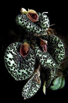 Exotic orchid Miniature-orchid ~ Micro-orquidea: Pleurothallis dodsonii...