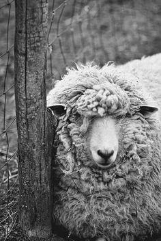 Sheep imagery