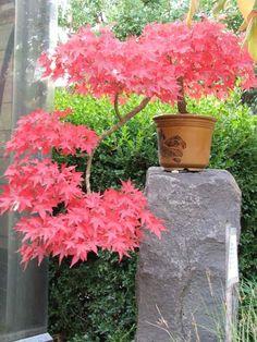 18 espèces d' érable du Japon – conseils de plantation et entretien