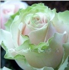 200 Seeds China Rare Dancing queen rose seeds by matoed on Etsy Unusual Flowers, Rare Flowers, Amazing Flowers, Beautiful Roses, Beautiful Gardens, Beautiful Flowers, Rare Roses, Ronsard Rose, Coming Up Roses