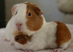 Glynis with a newborn Madeleine Guinea Pig