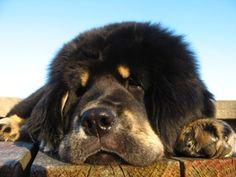 "Tibetan Mastiff - ""Zodd"" Fu-Hsing Sundari - Molosser Dogs Gallery"
