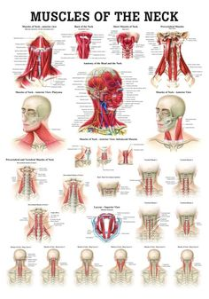 Buy medical educational anatomy posters and anatomical models for, Acupuncture,Chiropractic,Veterinary and more. Thousands to choose from. Douleur Nerf, Muscles Of The Neck, Medical Anatomy, Human Anatomy And Physiology, Body Anatomy, Neck Muscle Anatomy, Anatomy Of The Neck, Nerve Anatomy, Massage Techniques