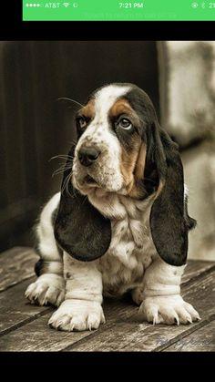 Furry basset puppy!