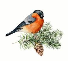 Watercolor bullfinch sitting on tree branch with pine cone. Hand painted winter illustration with bird and fir tree isolated on white background. Holiday clip art for design, print. Tree Branches, Fir Tree, Winter Illustration, Bullfinch, Vector Graphics, Christmas Cards, Royalty Free Stock Photos, Clip Art, Hand Painted