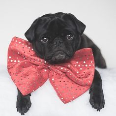 This week's pug photo challenge is all about the colour red as we get closer to Christmas so let's see what you've got. Tag your red photos with #tpd_red #thepugdiary
