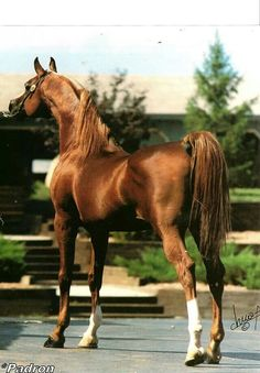 Padron Beautiful Arabian Horses, Majestic Horse, Pretty Horses, Most Beautiful Animals, Beautiful Creatures, Zebras, Planeta Animal, Arabian Stallions, Horse Ears