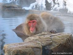 Escorted small group tours to visit the Snow Monkeys in Japan with Toursgallery.