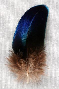 Paon saphir - 7-9 cm - bleu naturel métallisé - Plumes.fr