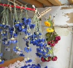 Cornflowers, marigolds and roses hanging up to dry in my airing cupboard via driedflowercraft.co.uk