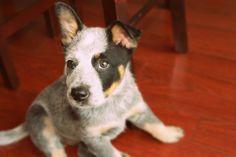 Blue Healer Pup!