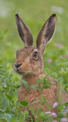 1080x1920 Wallpaper hare, grass, flowers, face, fear