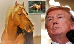 A congressional vote this week could send thousands of America's wild horses to slaughter horses – including a beloved, golden-haired stallion who was named in honor of President Trump.