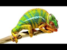 National Geographic recently took a detailed look at the chameleon, noting that its remarkable features such as its ability to use color to communicate, Air Max 90, Nike Air Max, Reptiles And Amphibians, Mammals, Chameleon Facts, Veiled Chameleon, National Geographic, Chameleon Changing Color, Mother Nature