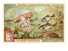 Aquatic Prints   Aquatic Fauna, Jellyfish Premium Poster at Art.com