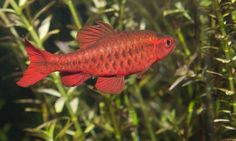 Although they may take a while to settle into their new tank, Cherry Barbs are the perfect freshwater fish for a home aquarium for all of the reasons listed above. 1d