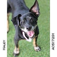 Adopt A Pet :: Haley - Creston, CA