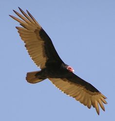 Turkey Vultures are not to be feared...they are gentle, curious creatures.