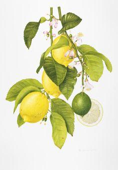 Annie Hughes (Citrus) botanical drawing for RHS show