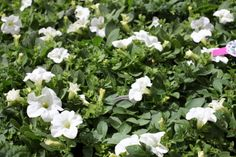 Petunia White - Great for hanging baskets and containers. Looks super all summer long, don't forget to feed regularly! Colorful Garden, Hanging Baskets, Petunias, Garden Furniture, Don't Forget, Colour, Interior, Plants, Summer