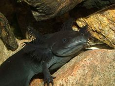 black-axolotl
