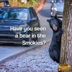 Have you seen a bear in the Smokies? Flora Flowers, Smoky Mountain, Have You Seen, Black Bear, Wildlife, Animals, Animais, Animales, American Black Bear