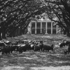 Oak Alley Plantation with cattle grazing out front and cattle living inside for 12 years!