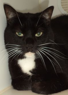 "URGENT! GORGEOUS TUXEDO KITTY ""TUX"" WITH ADORABLE WHITE WHISKERS FOUND IN SUMMIT COUNTY!!! NOW ADOPTABLE! Adopting a friend~ Dogs (and puppies) are $ 90.00 : $ 76.00 for the adoption / $ 14.00 for the licenses Cats (and Kittens) are $60.00 : $60.00 for the adoption All age appropriate animals are receiving a one year Rabies Vaccination. All adoptable..."