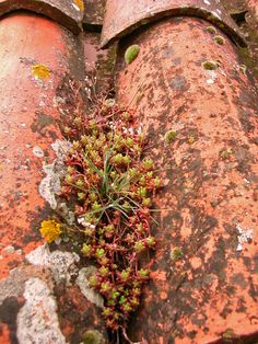 Roof tile garden, Ménerbes.  Amazing to see the little succulents and mosses flourishing here.
